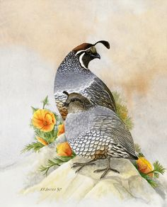 "California Quail and Poppies. Available on 12"" 16"" paper print."