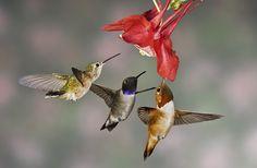 Three hummingbirds.