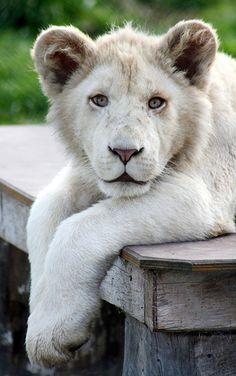 White #Lion cub #animal