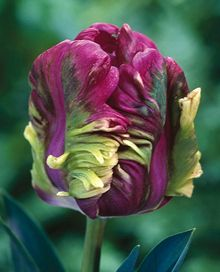 Fall bulb catalogs are starting to arrive, with cool offerings like this Rai Purple Tulip. Maybe we need a new board for Bulbs and Seeds?