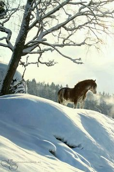 fjord horse on a Snowy Hill.