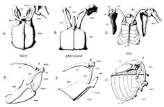 Sterna 600x395 AnatomyAnatomy Reference