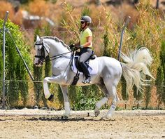 andalusian horses for sale | Andalusian horses for sale | Andalusitano