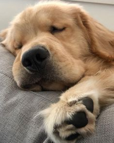 This special puppy golden retriever will make you amazed. Dogs are awesome companions. Cute Baby Animals, Animals And Pets, Funny Animals, Cute Dogs And Puppies, I Love Dogs, Doggies, Adorable Puppies, Retriever Puppy, Cute Animal Pictures