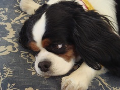 Cavalier King Charles Spaniels - Lucy - We all love to show off our new puppies but it is the old girls and boys who we love and fondly remember.