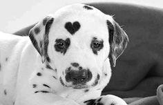 Heart dalmation puppy