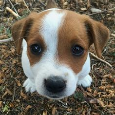 Jack Russell Terrier - A Dog in One Pack - Champion Dogs Cute Puppies, Dogs And Puppies, Cute Dogs, Doggies, Maltese Puppies, Jack Russell Puppies, Jack Russell Terrier, Jack Russell Mix, Terrier Puppies