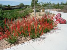 Firecracker Penstemon is a very hardy and drought tolerant plant that does very well in Central Oregon.  We have a lot of penstemon's native to our area and these are a great choice for the landscape.