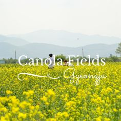The beautiful canola flower fields in South Korea  Busan, Gyeongju and Jeju are well known for these flowers during spring.  http://www.rafiquaisraelexpress.com/canola-flower-fields-in-gyeongju/