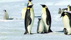 Fabulous footage of penguins in their habitat! Heartwarming and very beautiful, like a dance LISTEN TO YOUR HEART ~ Mike Rowland, Film by Ruedi Priska Abbühl Groundhog Day, Penguins And Polar Bears, Baby Penguins, Penguin Videos, Polar Animals, Funny Animals, School Videos, Relaxing Music, Antarctica