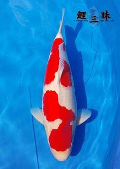 Koi Fish Pond, Koi Carp, Koi Ponds, Carpe Koi, Aquarium Fish, Fish Aquariums, Kohaku, Japanese Koi, Beautiful Fish