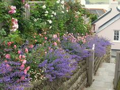 Roses and Nepeta flank the path up to the garden