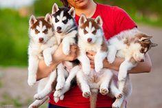 ahh husky puppies, my favorite thing everrrr, i wish artie was still this little<3