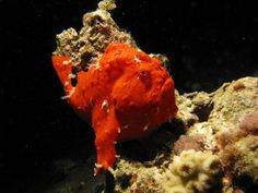 DeepSeaNews: These are a few of my favorite species: Painted Frogfish - Photo by prilfish - available through CC via Flickr
