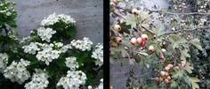 Majuelo, Espino albar (Crataegus monogyna) - El majuelo esta lleno de virtudes, tiene amplias propiedades medicinales, con sus frutos se preparan mermeladas y licores, una madera muy resistente, sus hojas tiernas completan una ensalada.