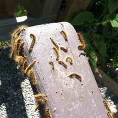 Eeeeew...so glad I don't live in the 'burbs when I see stuff like this...I do NOT miss the annual Gypsy Moth Caterpillar plague. They even smell gross when you step on them.