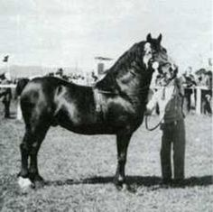 Pentre Eiddwen Comet was born in 1946. He was bay with a white off hind fetlock. He was 14.2hh.Pentre Eiddwen Comet was winner in 1951 of the George Prince of Wales cup, supreme accolade in the Welsh Cob society an award which he was to win again five years later. It was at the 1951 Royal Welsh show that he brought the house down and the grand stand to it's feet when he won the Tom and Sprightly Cup an award which he won a total of five times.
