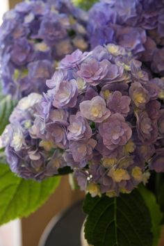 hydrangea you & me together blue