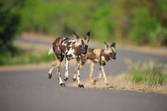 Wild Dogs of the Kruger National Park - one of Africa's most endangered mammal species, which are not easy to find in the Kruger Park! Kruger National Park, National Parks, African Wild Dog, Apex Predator, Wild Dogs, Leopards, Hunting Dogs, Travel Photographer, Dog Walking