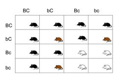 Pedigree chart showing Autosomal Recessive example For