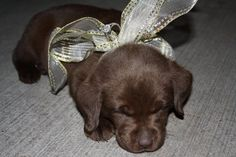 It's a chocolate lab. Yes! Fairytale Prosals of making all my dreams come true at once a puppy and a ring!!