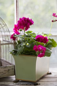 Lovely vibrant geraniums from my favourite blog - Natural Ting Garden Blog   ᘡℓvᘠ □☆□ ❉ღϠ □☆□ ₡ღ✻↞❁✦彡●⊱❊⊰✦❁ ڿڰۣ❁ ℓα-ℓα-ℓα вσηηє νιє ♡༺✿༻♡·✳︎· ❀‿ ❀ ·✳︎· TH DEC 5, 2017 ✨ gυяυ ✤ॐ ✧⚜✧ ❦♥⭐ ♢∘❃ ♦♡❊ нανє α ηι¢є ∂αу ❊ღ༺✿༻✨♥♫ ~*~ ♆❤ ♪♕✫❁✦⊱❊⊰●彡✦❁↠ ஜℓvஜ