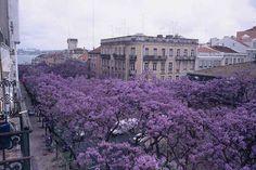 Oa jacarandás de Lisboa - Av. D. Carlos I - Lisboa