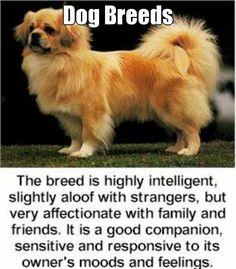 Dog Breeds  (courtesy of @Pinstamatic http://pinstamatic.com) - DogSiteWorld-Store - http://dogsiteworld.com - Tibetan Spaniel