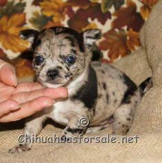 Fancy Paws Chihuahua Breeders Tiki - A gorgeous merle smooth coat Apple Head Chihuahua, Teacup Chihuahua For Sale, Long Haired Chihuahua, Chihuahua Puppies, Chihuahuas, Chihuahua Breeders, Adorable Puppies, I Love Dogs, Bff