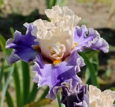 TB Iris germanica 'Wishes Granted' (Keppel, 2013)