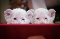 Dos pequeños leones blancos miran a la cámara durante una sesión fotográfica en el circo Krone, en Darmstadt, Alemania.