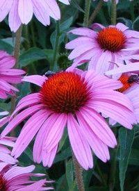 A kasvirág szaporítása magvetéssel vagy tőosztással történik. Rendkívül egyszerű, így kezdő kertbarátok is bátran próbálkozhatnak vele.Az ősszel szedett magok fényen és hidegben előbb kicsíráznak, így elég, ha egy-két hétre Astilbe, Bouquets, Flowers, Plants, Gardening, Bouquet, Bunch Of Flowers, Garten, Lawn And Garden