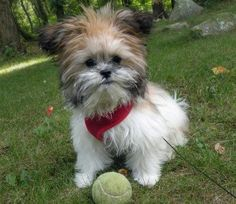 2195 Best Loving Shih Tzus Yours And My Eb Images On Pinterest