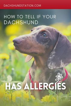 How To Tell If Your Dachshund Has Allergies. Giving This To Your Dachshund Daily Can Help Alleviate Painful Skin Allergies. Easy Remedies for dachshund allergies. // dachshund // dachshund dog // #dachshund #doxie Mini Dachshund, Dachshund Puppies, Medicated Dog Shampoo, Yeast Infection Causes, Dog Test, Watery Eyes, Puppy Training Tips, Cute Names, Seasonal Allergies