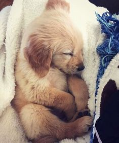 When Golden Retriever Puppies Attack… With Cuteness There aren't many things cuter in this world than a Golden Retriever puppy. Cute Funny Animals, Cute Baby Animals, Animals And Pets, Funniest Animals, Fluffy Animals, Golden Retriever Mix, Retriever Puppy, Baby Golden Retrievers, Cute Dogs And Puppies