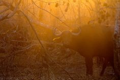 First photo from S. Africa: Cape Buffalo, Sabi Sand GR. See more on http://facebook.com/giovanni.mari.photography