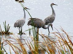 "http://pinterest.com/pin/create/button/?url=http://fineartamerica.com/featured/sandhill-cranes-kay-novy.html=http://fineartamerica.com/images-medium-5/sandhill-cranes-kay-novy.jpg  ""Sandhill Cranes"" by Kay Novy.  http://kay-novy.artistwebsites.com/  http://kay-novy.artistwebsites.com/"
