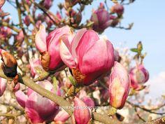 Magnolia x soulangeana 'Norbertii'