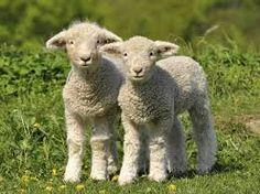 Bildergebnis für lamm