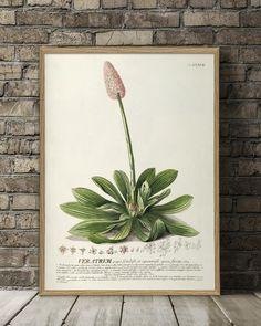 Veratrum. Plantae Print #3712