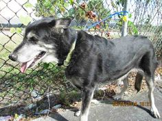 LAIKA (A1641529) I am a female black and cream Siberian Husky and German Shepherd Dog.  The shelter staff think I am about 6 years old.  I was found as a stray and I may be available for adoption on 09/11/2014. —