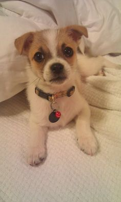 This dog is a jack Russell Chihuahua mix. He looks exactly like the puppy I just got.. we named him monty.