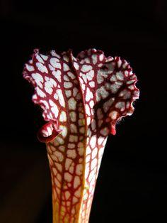 Seed-grown sarracenia leucophylla