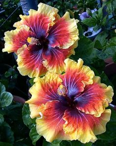 Hibiscus 'Tahitian Lion Queen' - quite stunning.