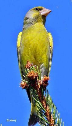 Greenfinch Greenfinch, Goldfinch, Backyard Birds, Mundo Animal, Wild Birds, Bird Watching, Beautiful Birds, Animals And Pets, Wildlife