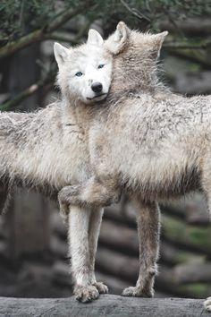 muddybootsflouredhands: w-canvas: Arctic Wolves Hugging |...