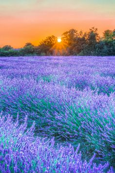 tulipnight:  More Lavender by Peter McClintock on Flickr.