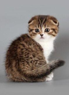 Scottish fold kittens - 22 Photo (1)