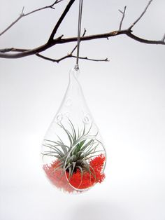 Air Plant in a Morning Dew  Discounted by wendiland on Etsy, $19.50