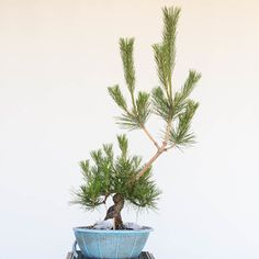 Redirecting growth on pines